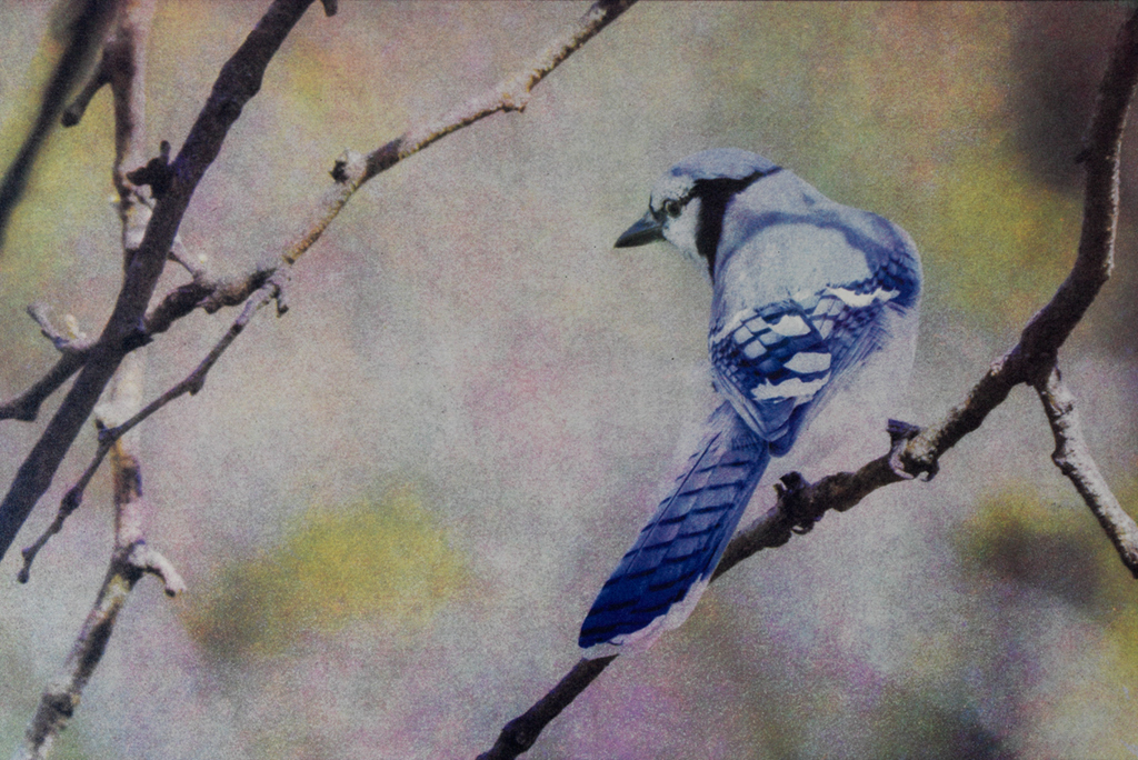 """Blue Jay"" © Andy Kraushaar. Approx. 8x12"" (20.3x30.5cm) handcrafted alternative process photograph (tri-color gum bichromate over cyanotype) printed on Hahnemuhle Platinum Rag. GALLERY5X7 offers this signed, original print at $500."