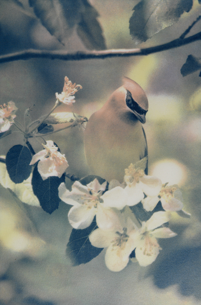 """Cedar Waxwing"" © Andy Kraushaar. Approx. 8x12"" (20.3x30.5cm) handcrafted alternative process photograph (tri-color gum bichromate over cyanotype) printed on Hahnemuhle Platinum Rag. GALLERY5X7 offers this signed, original print at $500."