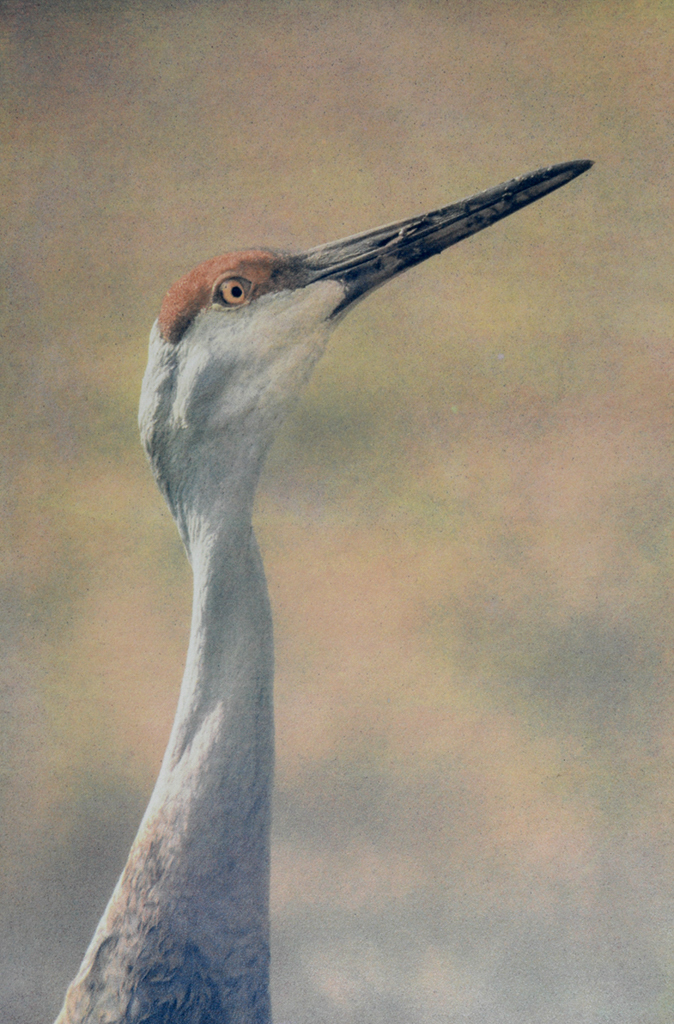"""Sandhill Crane"" © Andy Kraushaar. Approx. 8x12"" (20.3x30.5cm) handcrafted alternative process photograph (tri-color gum bichromate over cyanotype) printed on Hahnemuhle Platinum Rag. GALLERY5X7 offers this signed, original print at $500."