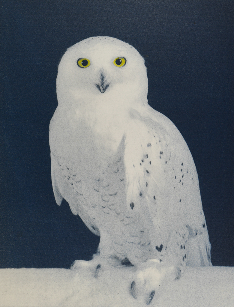 """Snowy Owl"" © Andy Kraushaar. Approx. 8x12"" (20.3x30.5cm) handcrafted alternative process photograph (hand-tinted cyanotype) printed on Hahnemuhle Platinum Rag. GALLERY5X7 offers this signed, original print at $250."
