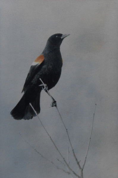 """Red-winged Blackbird"" © Andy Kraushaar. Approx. 8x12"" (20.3x30.5cm) handcrafted alternative process photograph (tri-color+black gum bichromate over cyanotype) printed on Hahnemuhle Platinum Rag. GALLERY5X7 offers this signed, original print at $500."