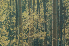 """Aspens Near Santa Fe New Mexico"" © Tom Wise. Aspens in Aspen Glen near Santa Fe New Mexico. Approx. 6x7.5"" (15.2x19.1cm) handcrafted alternative process photograph (gum bichromate over palladium-toned kallitype). GALLERY5X7 offers this signed, editioned original print at $250."